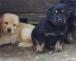 2 Femmine nero focato 1 maschio biondo disponibili nate il 27 marzo